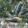 Japanese White-eye; Orange County, March 2015