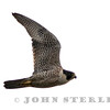 Peregrine Falcon; Gustine WTP, Merced County; April 2015