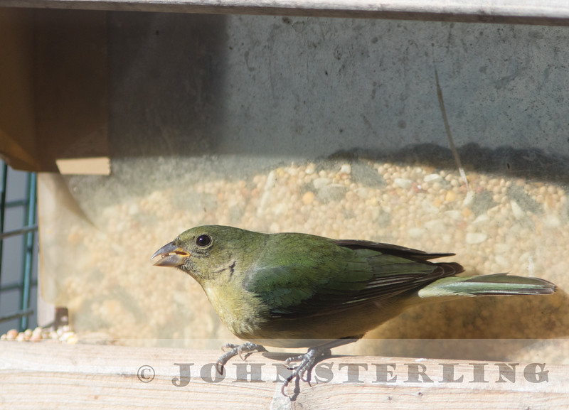 Painted Bunting, Los Angeles County, March 2015