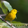 Yellow Warbler, Alberta prairie, 4 July 2014