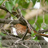 Brown Thrasher, Alberta prairie, 4 July 2014