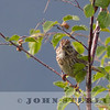 Lincoln's Sparrow, Jasper National Park, Alberta, Canada, 1 July 2014