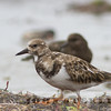 Ruddy Turnstone, Ventura, Sept 2013