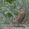 Clay-colored Sparrow, Alberta prairie, 4 July 2014