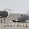 albertaensis California Gull and Western Gull at Virgin Creek, Mendocino County; 27 March 2015