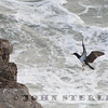 Brown Booby, adult female, Chimney Rock, Marin County, California; 8 February 2015
