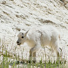Rocky Mountain goat, Jasper National Park, Alberta, Canada, 1 July 2014