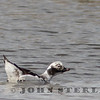 Long-tailed Duck, Kern NWR; March 2015