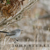 Blue-gray Gnatcatcher, San Luis Obispo County, Oct 2013