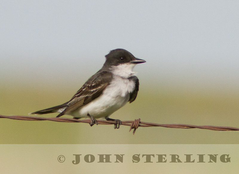 Eastern Kingbird, Alberta prairie, 4 July 2014