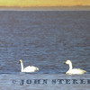 Bewick's Swan; Benton Crossing, Mono County, 15 November 2013