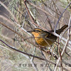 Varied Thrush, Zyzzyx, San Bernardino County, 14 November 2013