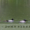 Common Loon family, Jasper National Park, Alberta, Canada, 1 July 2014