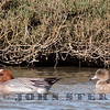 Eurasian Wigeon pair, Pt. Richmond, Contra Costa County; February 2015