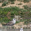 Lesser Black-backed Gull; Bootsma Dairy Pond, San Jacinto, Riverside County; 26 February 2013
