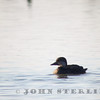 Black Scoter, female, Yolo Basin Wildlife Area, Yolo County, found by Ken Ealy, first county record on 25 November 2013