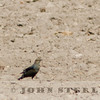 Rusty Blackbird; Santa Cruz County, November 2013