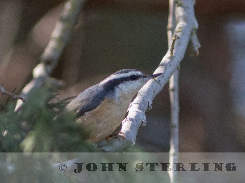 Red-breasted Nuthatch, Sutter County, 9 March 2015