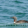 Red-throated Loon, Bodega Bay, 24 May 2013