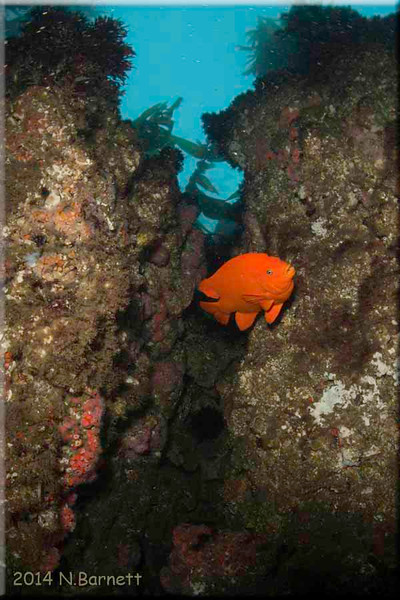 Garibaldi in rock crevice