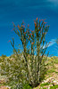 Ocotillo bush blooming in Anza Borrego State Park, California, USA.