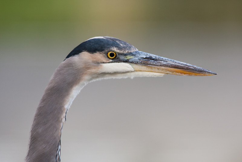 A great blue heron (Ardea herodias). Taken at Santee Lakes Recreation Preserve, Santee, California, USA.