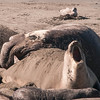 Elephant seals, north of San Simeon