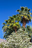 Palm trees and white flowering bushes near Palm Springs, California, USA.