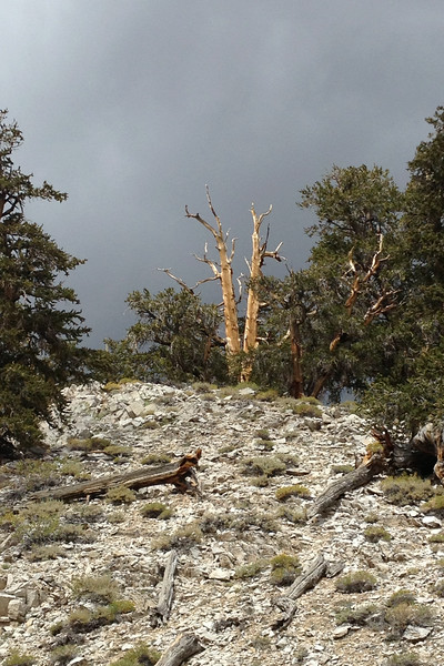 Drive into The White Mountains of California. Hike in the Ancient Bristlecone Pines in the Schulman Grove.