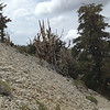 Along the Discovery Trail. The Ancient Bristlecone Pines, Schulman Grove, Inyo National Forest.