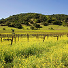 Mustard Blooms in Vineyards