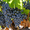 Cluster of grapes ready for Harvest