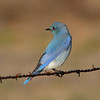 Mountain Bluebird, Panoche Rd, Fresno Co. 01-03-15