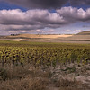 Meseta Sunflowers
