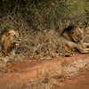 Lions Tsavo National Park West, Kenya