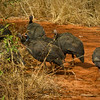 Helmeted Guineafowl Tsavo National Park West, Kenya