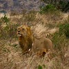 Lion Tsavo National Park West, Kenya 6