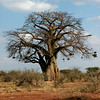 Baobab Tree  Tsavo National Park West, Kenya