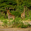 Masai Giraffes Fly Camp At Kanzi Kenya Africa