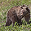 Grizzly_A02P0012-TAG