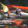 Mandarin duck and carp.
