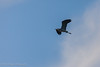 A blue herron that was flying overhead.