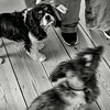 Balance with dogs - Elliott Erwitt style