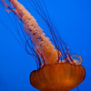 Sea Nettle (Jellyfish) _MG_1183