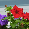 Russell L. Frayre<br />  62911<br />   Summer flowers in Cotuit