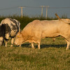 British Blonde Bull with cow