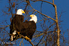 Bald Eagle ( Haliaeetus leucocephalus ) (1 of 1)-4