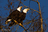 Bald Eagle pair ( Haliaeetus leucocephalus ) (1 of 1)