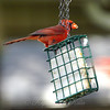 Papa Cardinal is Using the Suet as an Easy Way to Feed Hungry Babies Too