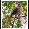 Adult Female Cardinal.   Her beak is orange while the male has a red beak.